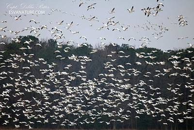 Photograph - Snow Geese 2048 by Captain Debbie Ritter