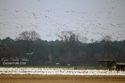 Photograph - Snow Geese 2172 by Captain Debbie Ritter