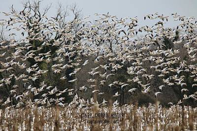 Photograph - Snow Geese 5775 by Captain Debbie Ritter