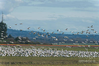 Photograph - Snow Geese And Tulips by Louise Magno