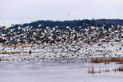 Photograph - Snow Geese At Squaw Creek by Edward Peterson