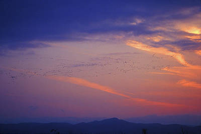 Photograph - Snow Geese At Sunset by John Burk