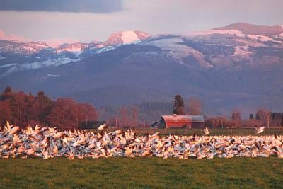 Photograph - Snow Geese At Sunset by Karen Molenaar Terrell