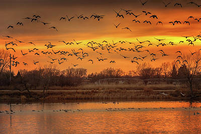 Photograph - Snow Geese At Sunset by Susan Rissi Tregoning
