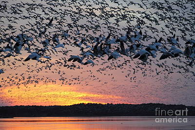 Snow Geese At Sunset Art Print by Ursula Lawrence