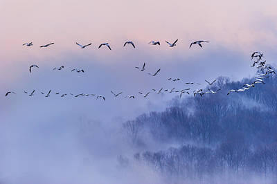 Bird Photograph - Snow Geese by Austin Li