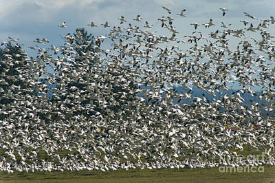 Photograph - Snow Geese Convention by Louise Magno
