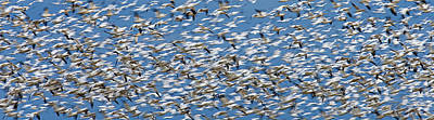 Motion Photograph - Snow Geese by Ed Book