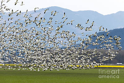 Goose Photograph - Snow Geese Exodus by Mike Dawson