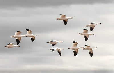 The Flight Of The Snow Geese Photograph - Snow Geese Flight by Britt Runyon
