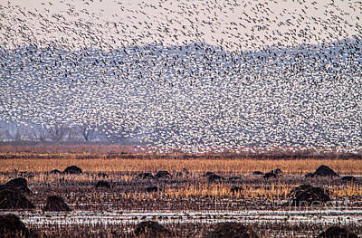 Photograph - Snow Geese Galore by Elizabeth Winter