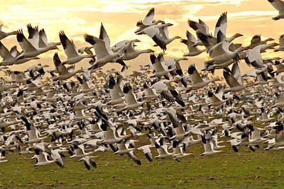 Snow Geese In Flight Art Print