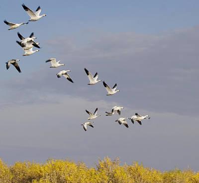 Snow Geese In Flight Original