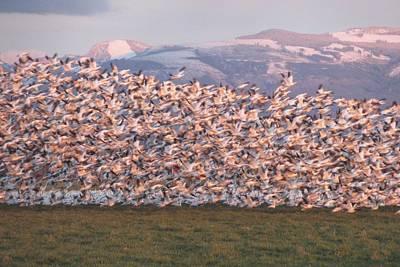 Photograph - Snow Geese In Flight by Karen Molenaar Terrell