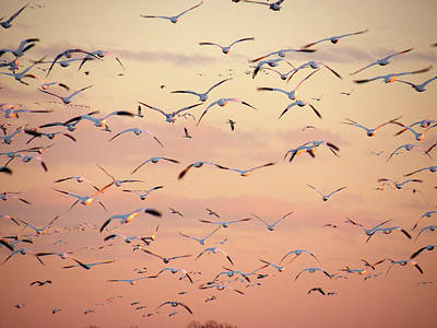 Photograph - Snow Geese In Flight by Kim Bemis