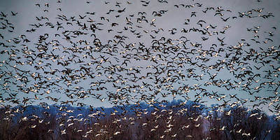 Photograph - Snow Geese In Pike County Mo 7r2_dsc5260_01282018 1x2 Ratio by Greg Kluempers
