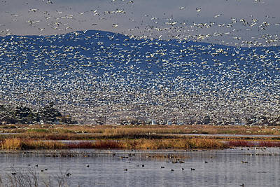 Photograph - Snow Geese Landing by Frank Wilson