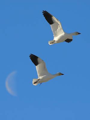 Snow Geese Moon Art Print