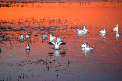 Snow Geese On Water Art Print by Panoramic Images