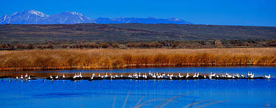 Photograph - Snow Geese Panorama by Greg Norrell
