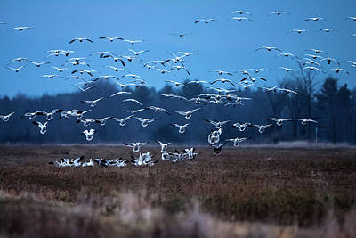 Photograph - Snow Geese Return To  Dead Creek Vt by Jeff Folger
