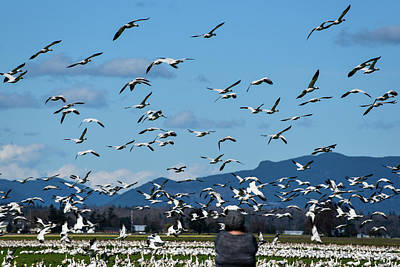 Photograph - Snow Geese Rising by Tom Cochran