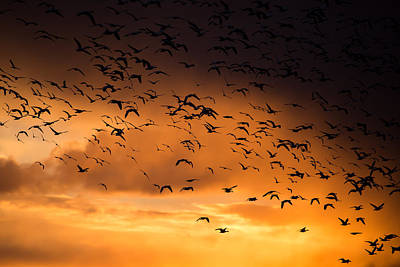 Wall Art - Photograph - Snow Geese Skies by Diana Marcoux