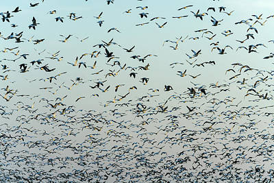 Photograph - Snow Geese Sky Pattern by Edward Peterson