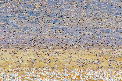 Photograph - Snow Geese Take Off 3 by Marc Crumpler