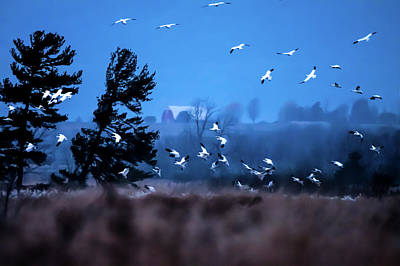Photograph - Snow Geese Taking Wing At Dawn by Jeff Folger