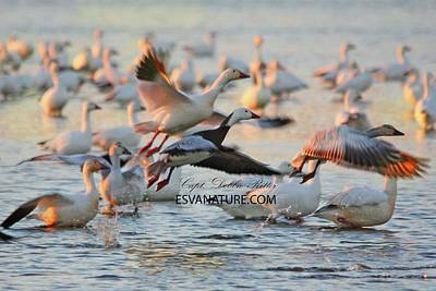 Photograph - Snow Geese With Morph 2 by Captain Debbie Ritter
