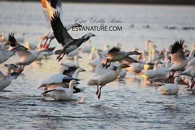 Photograph - Snow Geese With Morph by Captain Debbie Ritter