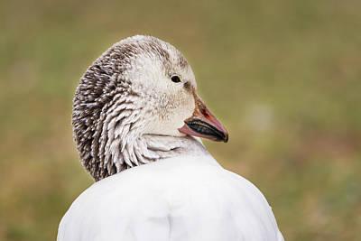 Photograph - Snow Goose At Rest by Debra Martz
