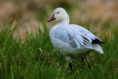 Photograph - Snow Goose by Craig Strand