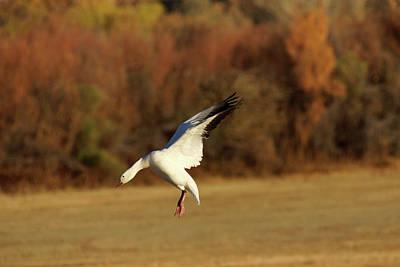 Photograph - Snow Goose Elegance by Leda Robertson