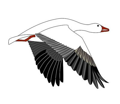 Snow Geese Drawing - Snow Goose by Fred Croydon
