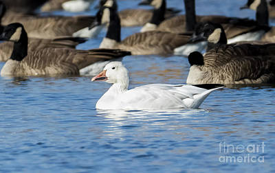 Photograph - Snow Goose by Ricky L Jones