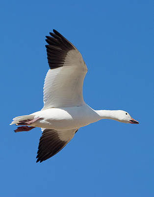 Photograph - Snow Goose Wings by Mark Miller