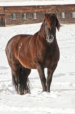 Snow Horse Original