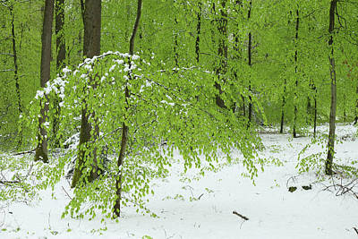 Photograph - Snow In Spring, Fresh Foliage In Beech Forest by Martin Stankewitz