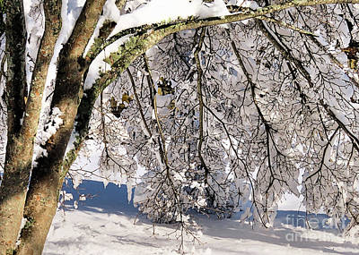 Photograph - Snow Laden Branches by Janice Drew