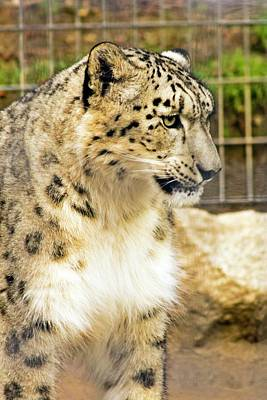 Photograph - Snow Leopard 1 by Ayasha Loya