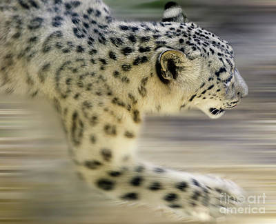Photograph - Snow Leopard On The Move by Bob Christopher