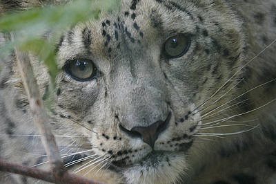 Photograph - Snow Leopard 10 by Ernie Echols