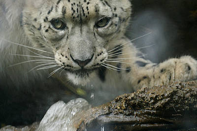 Photograph - Snow Leopard 11 by Ernie Echols