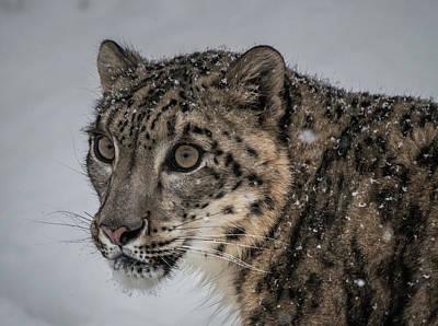 Photograph - Snow Leopard 2 by Teresa Wilson