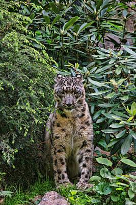 Photograph - Snow Leopard by Allen Beatty