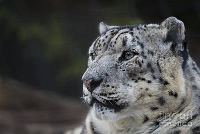 Photograph - Snow Leopard by Andrea Silies