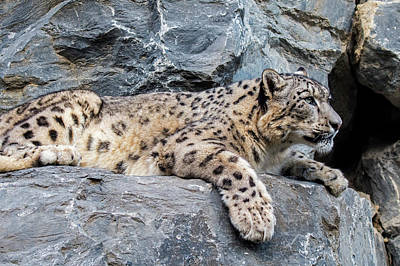 Photograph - Snow Leopard by Arterra Picture Library