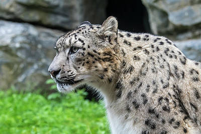 Photograph - Snow Leopard, Asia by Arterra Picture Library